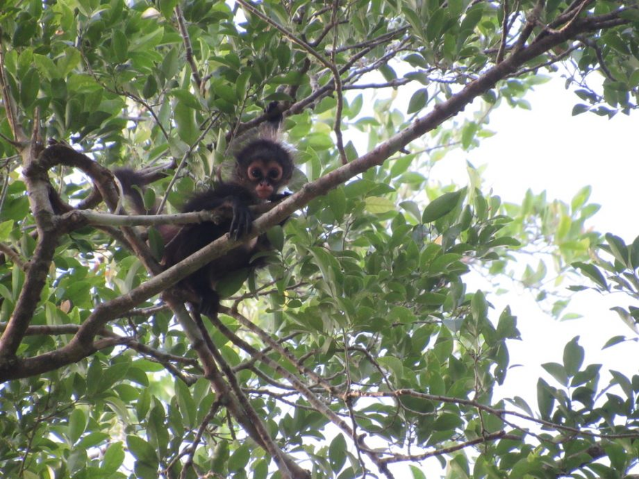 Spider monkey in the tree canopy (Photo Credit - Claire Burke)