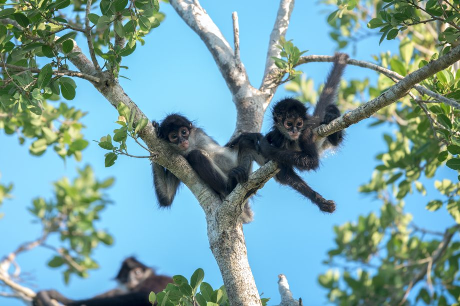 Spider Monkeys in Tulúm Mexico 2 (1) (Photo credit - Luis Palomino)